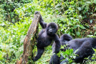 Ruanda: conheça o lar dos últimos gorilas do planeta
